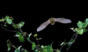 A common pipistrelle.
