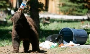 A black bear drinks from a plastic soda bottle near South Lake Tahoe, California.