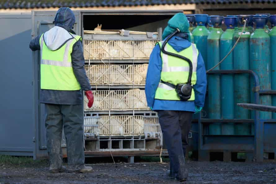 A cull at a Yorkshire duck farm in 2014