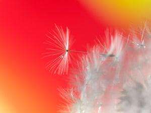 Dandelion Droplet by Alison Lawrence