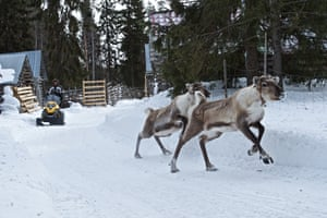 Jouni Pätsi gets the reindeers to speed up by driving a snowmobile behind them.