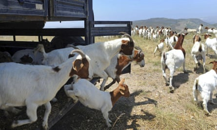 Goats are released at the Ronald Reagan Library in Simi Valley, California, during a similar crisis in 2012.
