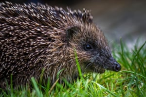 A young hedgehog in Burley-in-Wharfedale, Ilkley, Yorkshire, England