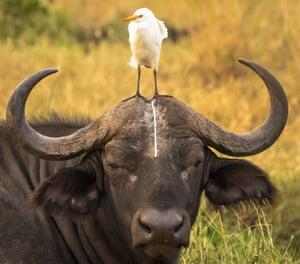An unfortunate portrait of a Buffalo in Meru National Park, Kenya.