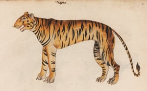The grinning tiger, first printed by the founding father of zoology Conrad Gessner in 1551