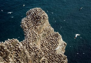 Gannets on a cliff at the RSPB nature reserve at Bempton Cliffs in Yorkshire, UK. Over 250,000 seabirds flock to the chalk cliffs to find a mate and raise their young