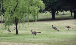Kangaroos take off as the Royal party approach