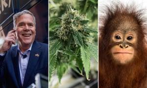 In the news in 2016 – possibly: Jeb Bush, Marijuana and an orangutan.