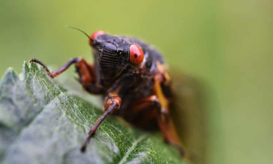 Bug out ... a periodic cicada in Maryland.