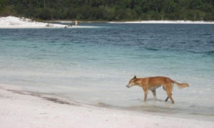 Fraser Island dingo attack: boy in hospital after running into pack