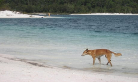 Toddler dragged by dingo from Fraser Island campsite has fractured skull