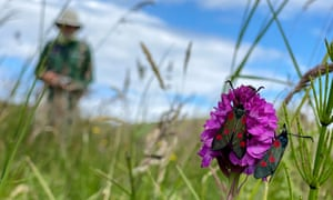 Five-spot burnet moths on an orchid in the meadows of Lindisfarne.