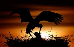 White storks at sunset near Philippsburg, Germany.