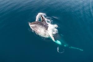 Humpback Whale Feeding, Antarctica