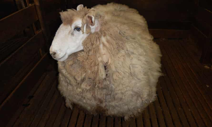 Ewenice the rogue merino sheep had not been shorn for four years. She was found in central Victoria in July and taken for a shearing with the fleece weighing in at 20kg.