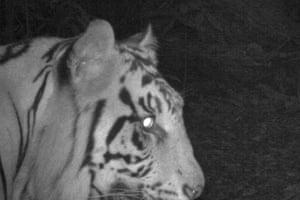 A camera trap photo of a Sumatran tiger from Hadabaun Hills confirming the species still survives here