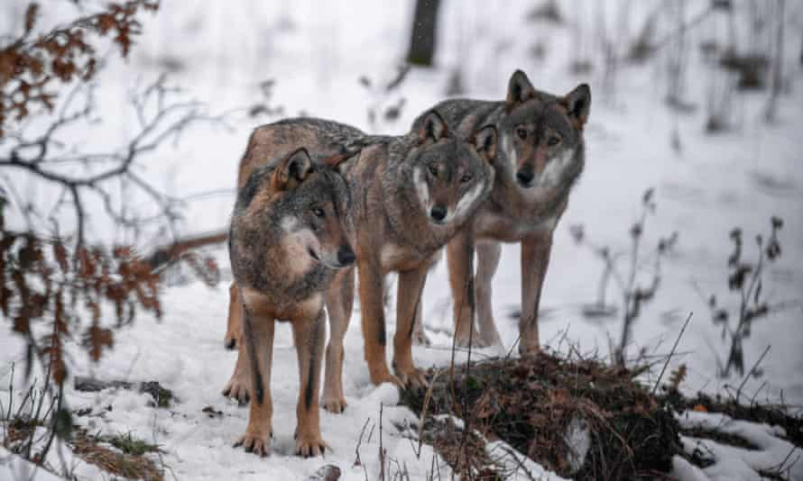 'We got a report of a kill' … wolves in Italy.