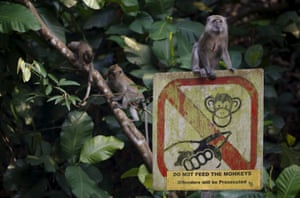 A monkey sits on a sign asking visitors not to feed monkeys at the MacRitchie nature reserve in Singapore