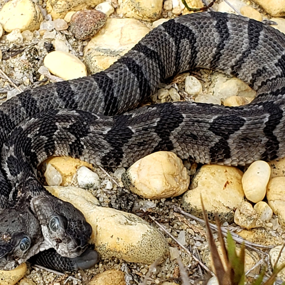 Rare Two Headed Snake Nicknamed Double Dave Is Found In Us Snakes The Guardian