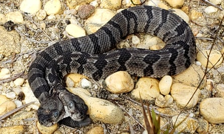 The newborn two-headed timber rattlesnake discovered in New Jersey.