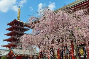 A tree beside the five-storey pagoda at Sensō-ji temple in Asakusa, Tokyo