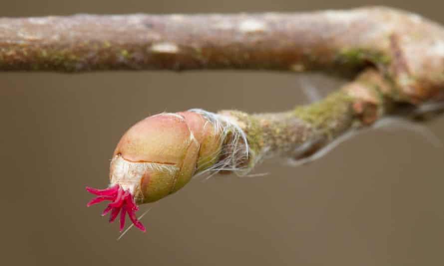 Resembling sea anemones, Hazel's female flowers have tentacle-like tufts