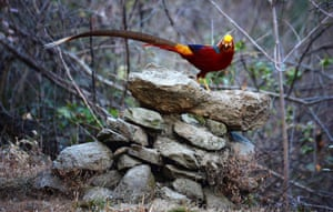 A golden pheasant near Longting Town, Yangxian County, northwest China's Shaanxi Province