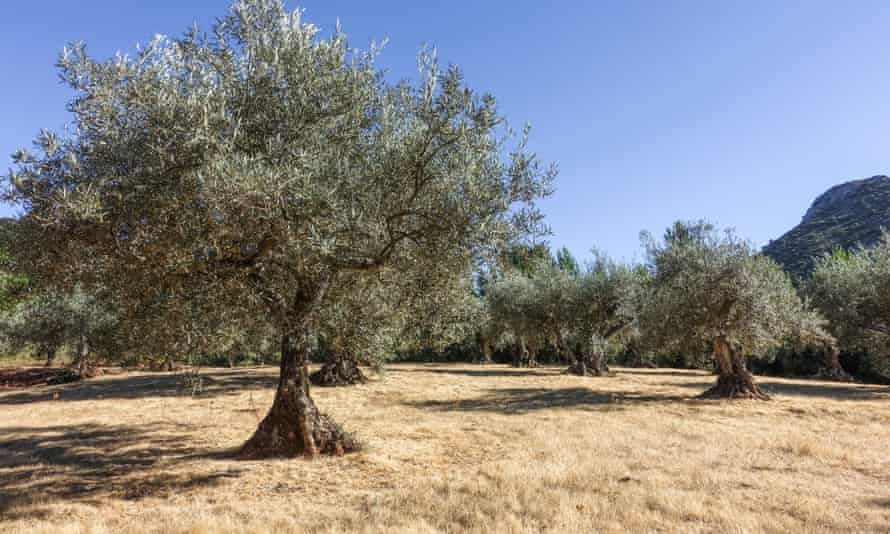 Olive trees in Andalusia, Spain.