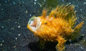 the hairy frogfish spotted in Lembeh, Indonesia