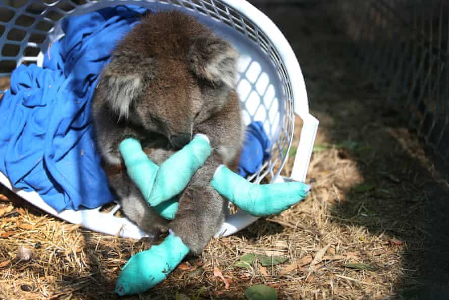 An injured koala rests in a washing basket at the Kangaroo Island wildlife park.