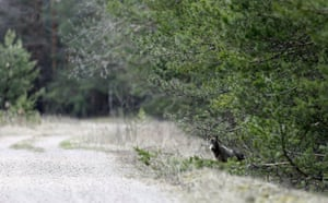 A wolf looks out of bushes in a forest in Chernobyl exclusion zone, near the abandoned village of Dronki, Belarus.