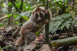 One of eight Javan Slow Loris, one of the most endangered primate species in the world, after being released back into a forest by wildlife rangers near Pekanbaru, Indonesia