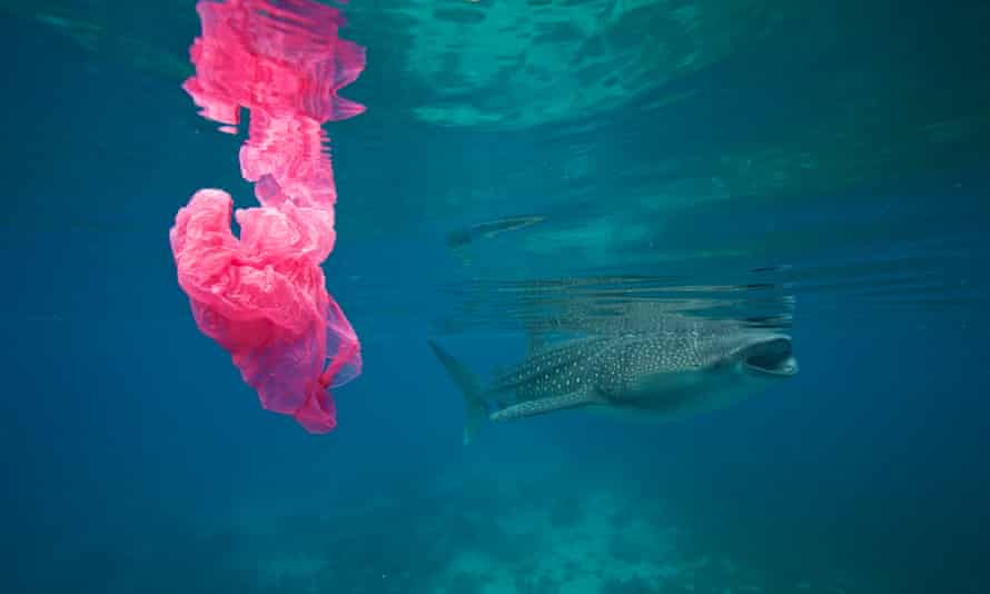 A whale shark swims past a plastic bag