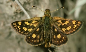 chequered skipper butterfly, carterocephalus palaemon, rare in uk