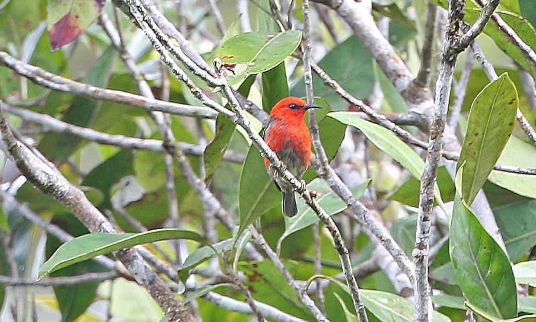 The scarlet-bodied Taliabu myzomela inhabits forest canopy.