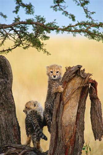 Cheetah cubs on tree trunk