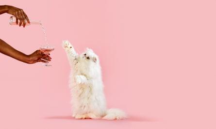 Persian chinchilla cat