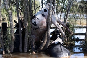 Dead cattle hung up on trees along a fence line on Oxley Island