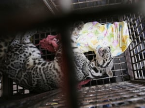A clouded leopard sleeps in a cage after being rescued by police in a raid on a house in southern Jakarta.