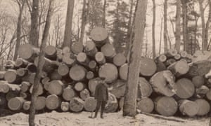 Logging on … white pines in Wisconsin, 1909.