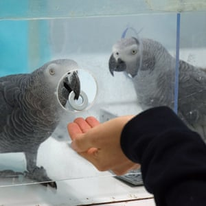A pair of African grey parrots exchanging tokens. Researchers say that for the first time they have shown that African grey parrots are willing to help others, including strangers, in need.