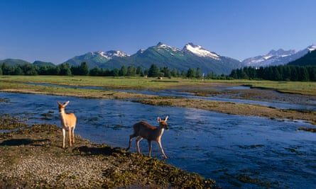 Sitka black-tail deer in the Tongass National Forest in southeast Alaska.
