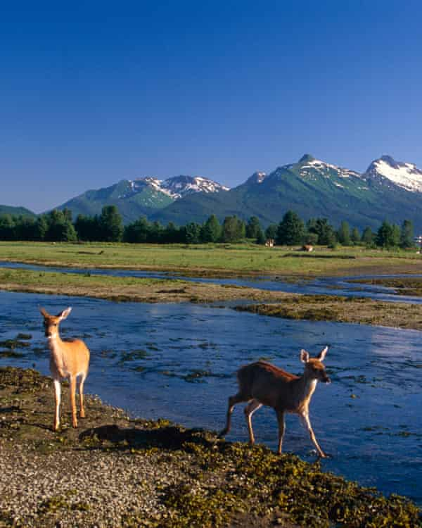 On the river's edge: Sitka black-tail deer.