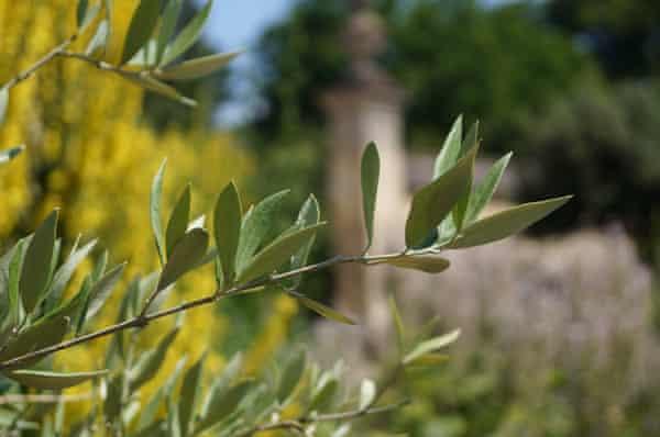 Mediterranean accent: olive growing in the botanic garden.