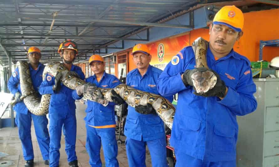Members of Malaysia's Civil Defence Force hold a python believed to be 8 metres long and found on Penang island.