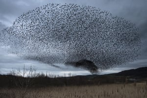A starling murmuration ascends over RSPB Conwy. Most of the birds will soon return to mainland Europe, Scandinavia and Russia after spending the winter at the site