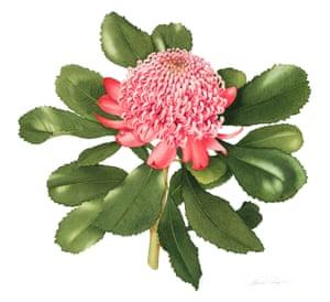 Telopea speciosissima Pink Waratah by Annie Hughes