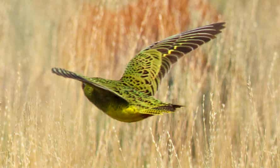 This photo of a rare night parrot, thought to be extinct in Western Australia, was captured in the state's arid inland region by a team of bird enthusiasts.