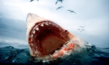 Orcas vs great white sharks: in a battle of the apex predators who wins?