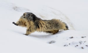 A marmot comes out of hibernation in Vanoise natural park, in the French Alps